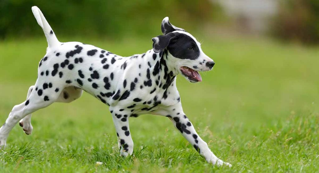 My dog is not a Dalmation