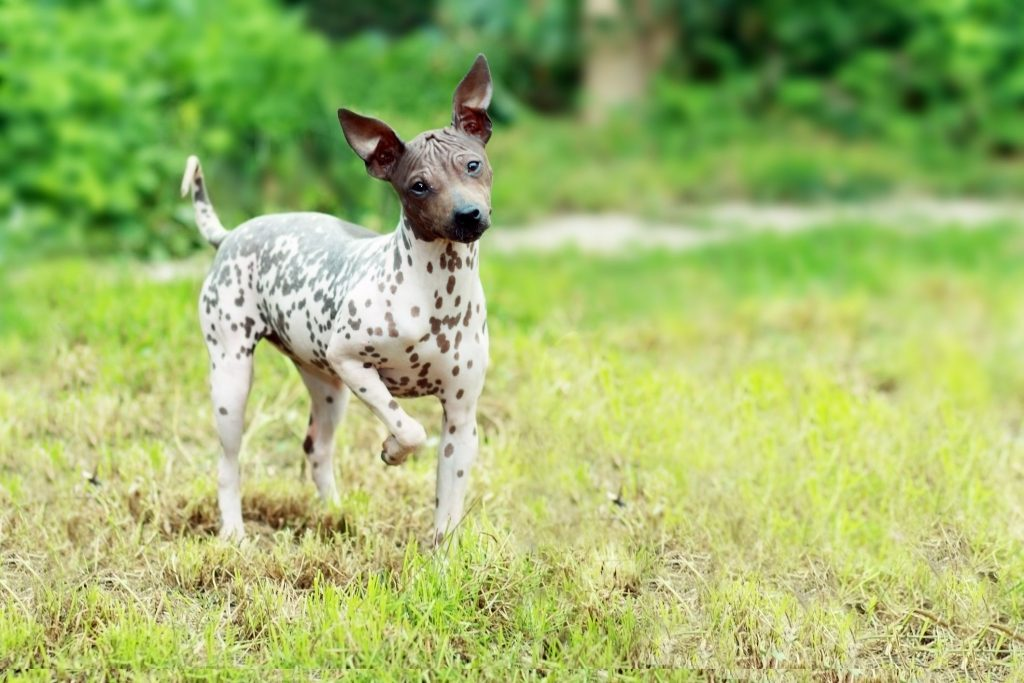 hairless rat terrier dog breed reviews