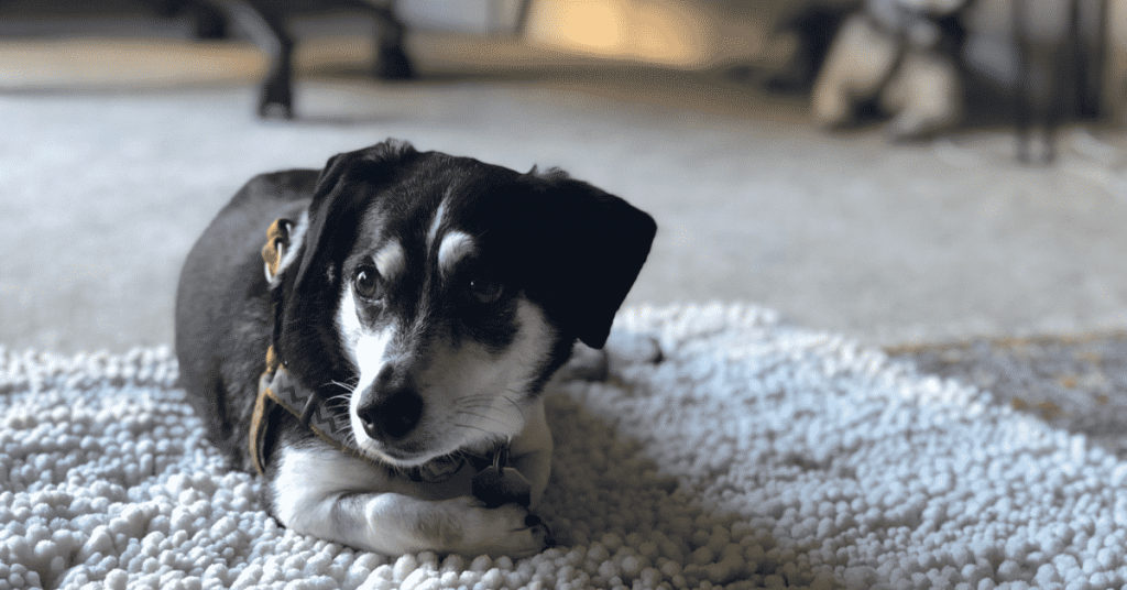 rat terrier dachshund mix