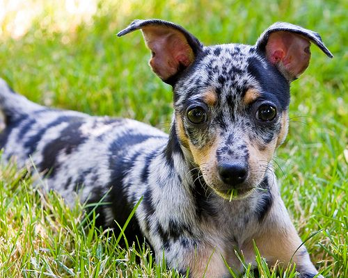 blue rat terrier