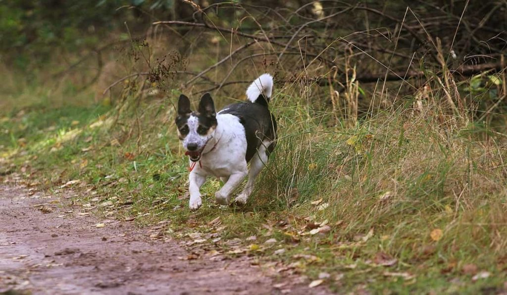 Are rat terriers good for for adoption