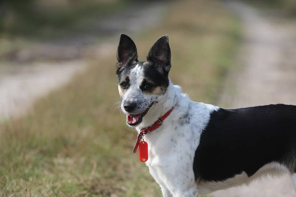 Rat Terrier Breed Profile and Information on the Different Types of Rat Terriers