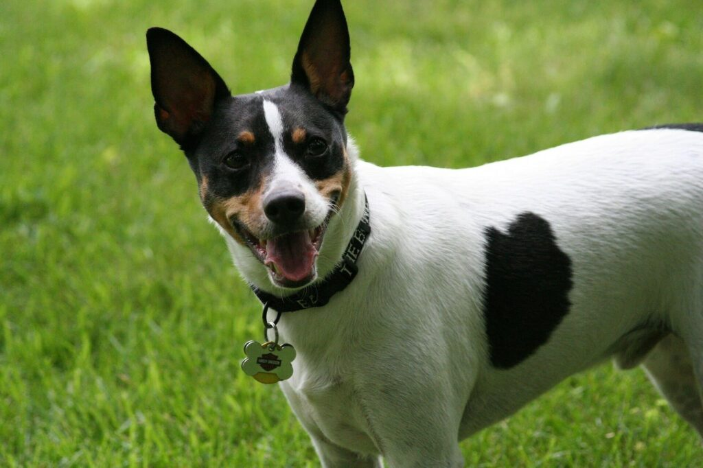 Rat Terrier Dog Breed Information 2020