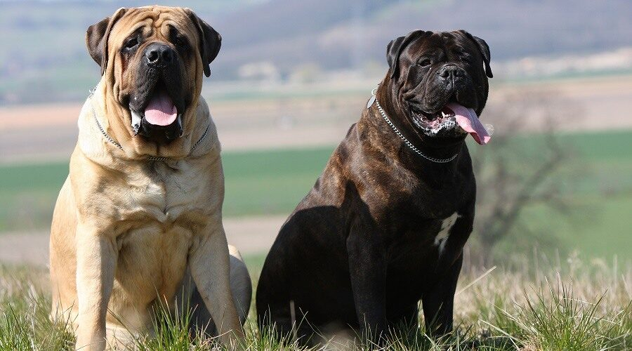 ‌mastiff‌ ‌bigger‌ ‌than‌ ‌a‌ ‌Great‌ ‌Dane