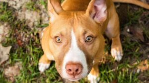 Are Pitbull Terriers good family dogs