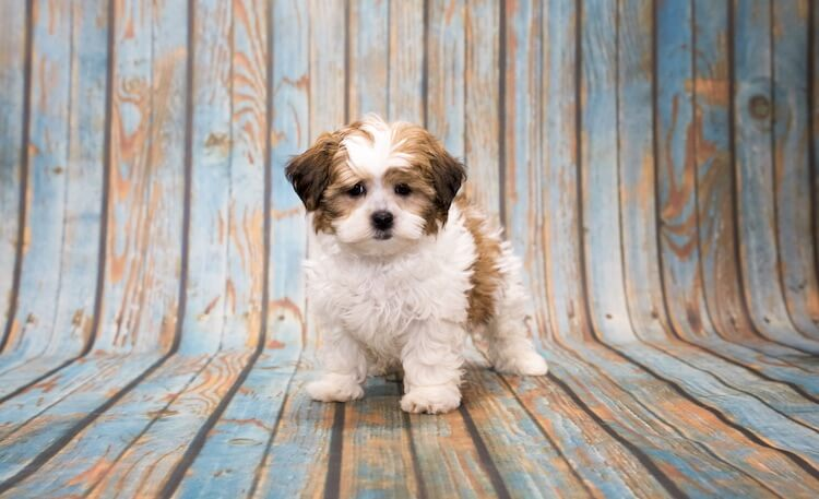How big does a Shih Tzu poodle mix get