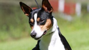 How long does a rat terrier live
