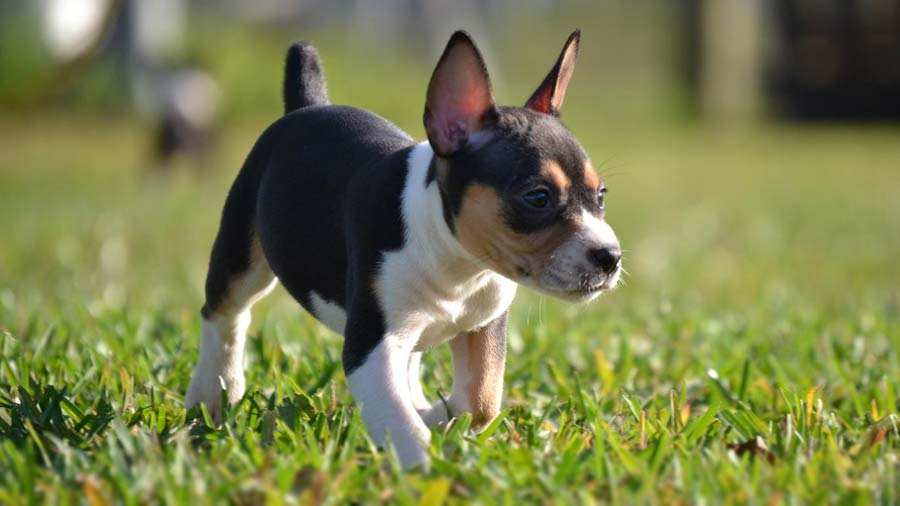 How to train a rat terrier puppy