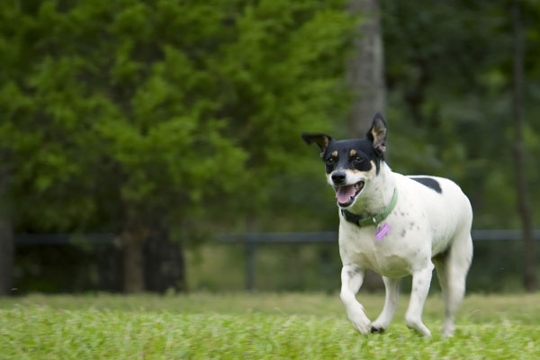 How fast can a rat terrier run
