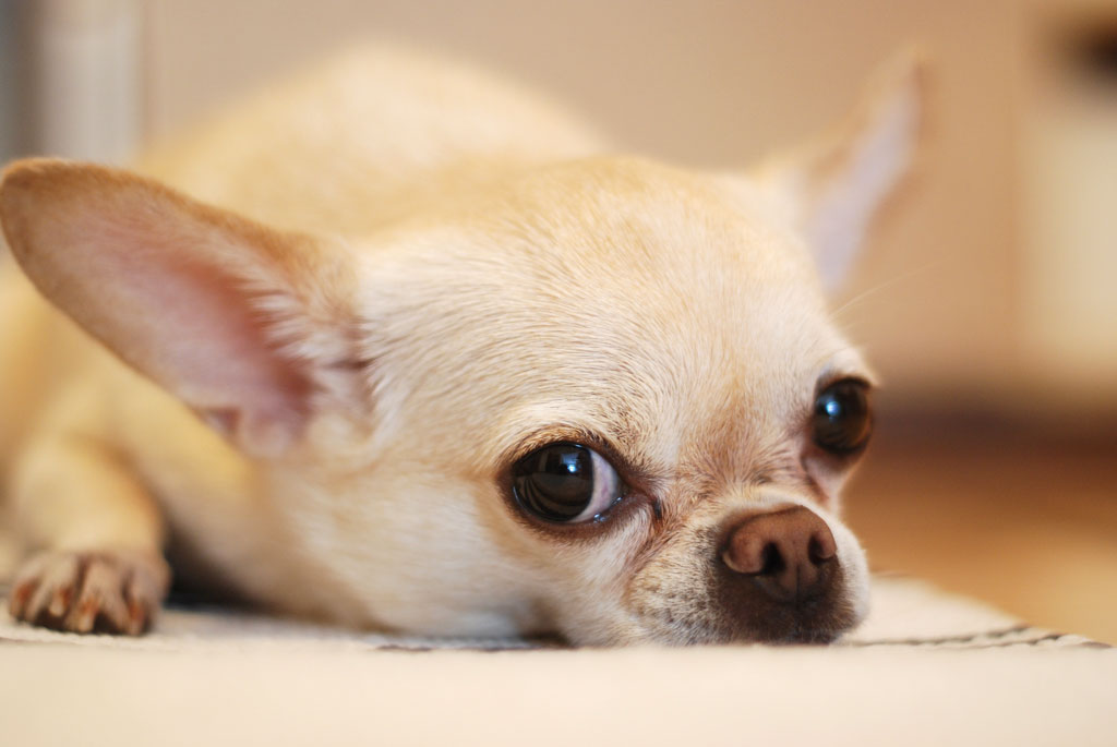 how long do chihuahua stay in heat